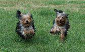 Two dogs run outdoors — Foto de Stock