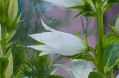 Campanilla blanca — Foto de Stock