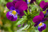 Two purple flowers — Stock Photo