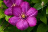 Pink clematis flowers — Stock Photo