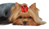 Close-up of Yorkshire terrier's muzzle — Stockfoto