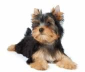 Beatiful small puppy — Stock Photo