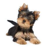 Cute pet — Stock Photo