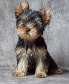 Pet on backdrop — Stock Photo