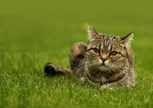 Cat lying on the grass on a summer day. — Stockfoto