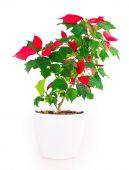 Christmas star flowerpot — Stock Photo