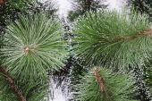 Pine branches background — Stock Photo