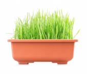 Green grass in pot — Stock Photo