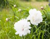 Georgeous white peony in bloom — Stock Photo