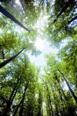 Trees in the forest - the crown of leaves against the sky — Stock Photo