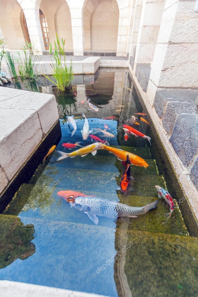 Koi estanques con peces carpas coloridas de jap n fotos for Estanque de carpas