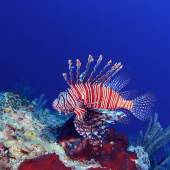 Lionfish (Pterois) near coral, Cayo Largo, Cuba — Stockfoto