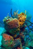 Hard Corals near Cayo Largo, Cuba — Foto Stock