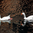 Pair of White Goose Swimming in Pond — Stock Photo #55531585