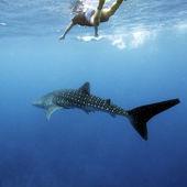 Whale shark and Scuba Diver, Maldives — Stock Photo