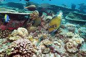 Big Trigger Fish near Corals, Maldives — Stock Photo