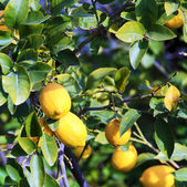 Growing Yellow Lemons with Leaves — Stock Photo
