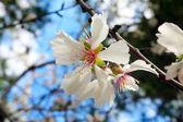 Almond tree vårblommor — Stockfoto