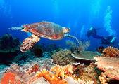 Mercan, bali yanında yeşil deniz kaplumbağası — Stok fotoğraf