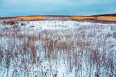 Snow Covered Field with Dry Plant — Stock Photo