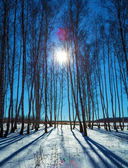 Birch Forest with Snow at Winter — Stock Photo