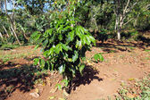Coffee Plantation at Cuba — Stockfoto