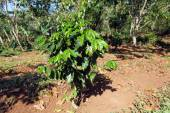Coffee Plantation at Cuba — 图库照片