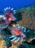 Lionfish (Pterois) near coral, Cayo Largo — Stock Photo