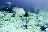 Big fish near Sand Bottom, Cayo Largo — Stock Photo