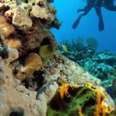 Giant Moray Eel and Scuba Diver — Fotografia Stock