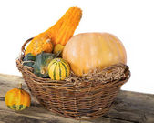 Pumpkin crop autumn — Stock Photo