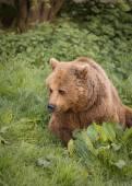 Bear in evening light — Stock Photo