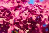 Сиреневый цветок расцветает дерево — Стоковое фото