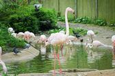 UK, England, London - 5 May 2013: Pink flamingos at the zoo — Stock Photo