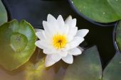 Water lily in the pond — Stock Photo
