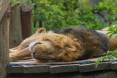 05 May 2013 Lovely lion in zoo, London, UK — Stock fotografie