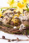 Nergis ile yuvadaki yumurta — Stok fotoğraf