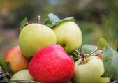 Čerstvé jablko plodin venku — Stock fotografie