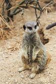 Meerkats mongoose observing — Stock Photo