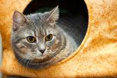 Gray domestic cat in the cat house — Foto de Stock