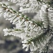 Frost on spruce branch — Stock Photo #59761679
