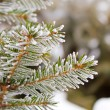 Frost on spruce branch — Stock Photo #59761681