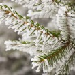 Frost on spruce branch — Stock Photo #59761685