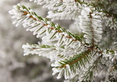 Frost on spruce branch — Stock Photo