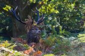 Red Deer Stag In Ferns Wearing Leaves — Stock Photo