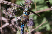 Migrant Hawker Dragonfly — Stock Photo