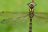 Southern Hawker Dragonfly — Stock Photo