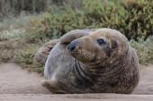 Bull Grey Seal — Stock Photo