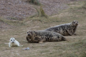 Grey Seal Cow and Pup.  — Stock Photo