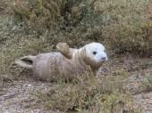 Grey Seal Pup — Stock Photo